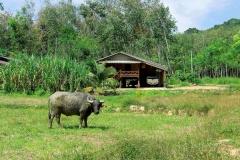 Koh Yao Noi - Water Buffalo