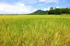 Koh Yao Noi - Rice Fields