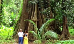 Big Tree - Koh Yao Noi