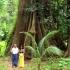 Big Tree - Koh Yao Noi